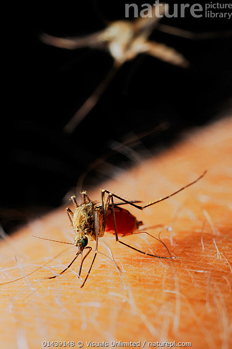 Mosquito (Culex pipiens) female feeding on human blood, while a second mosquito is arriving.  ,  BITING,BLOOD,CAPTIVE,CLOSE UPS,DIPTERA,FEEDING,FEMALES,FLIES,FLIGHT,FLYING,HAIRS,INSECTS,INVERTEBRATES,MACRO SHOTS,MOSQUITOES,SKIN,SUCKING,VERTICAL  ,  Visuals Unlimited