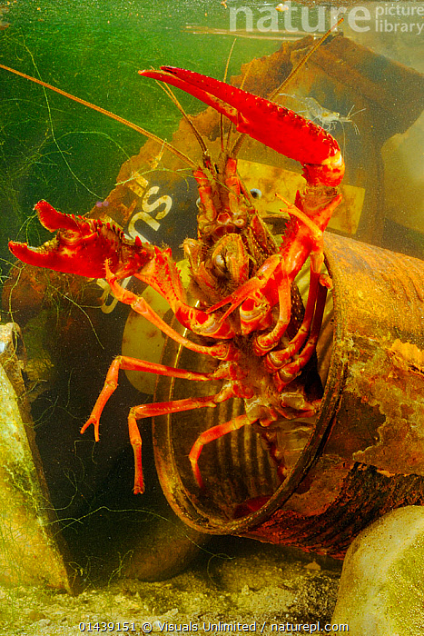 Louisiana Swamp Crayfish (Procambarus clarkii) hiding in a rusty can. These crustaceans can survive in highly polluted waters, an invasive introduced species, Europe  ,  AQUATIC,ARTHROPODS,CAMBARIDAE,CRAWFISH,CRAYFISH,CRUSTACEANS,EUROPE,FRESHWATER,INTRODUCED SPECIES,INVASIVE,INVERTEBRATES,PORTRAITS,UNDERWATER,VERTICAL  ,  Visuals Unlimited