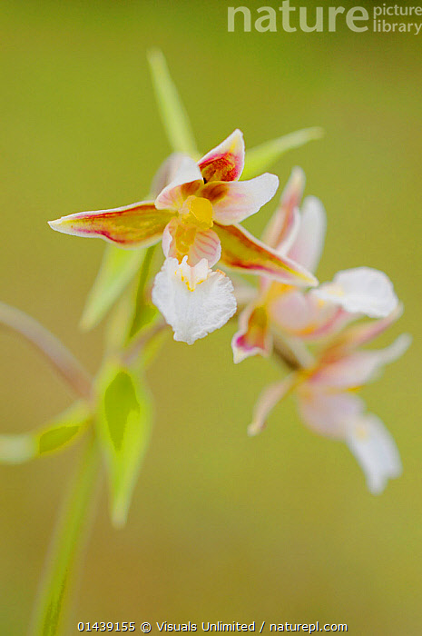 Marsh Helleborine Orchid (Epipactis palustris), Italy  ,  EUROPE,FLOWERING,FLOWERS,ITALY,MONOCOTYLEDONS,ORCHIDACEAE,ORCHIDS,PLANTS,PORTRAITS,VERTICAL  ,  Visuals Unlimited
