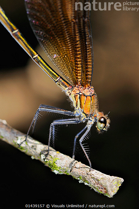 Mediterranean / Copper Demoiselle Damselfly (Calopteryx haemorrhoidalis) female portrait, Europe, ARTHROPODS,CLOSE UPS,DAMSELFLIES,DETAIL,EUROPE,FEMALES,INSECTS,INVERTEBRATES,ODONATA,PORTRAITS,PROFILE,VERTICAL, Visuals Unlimited