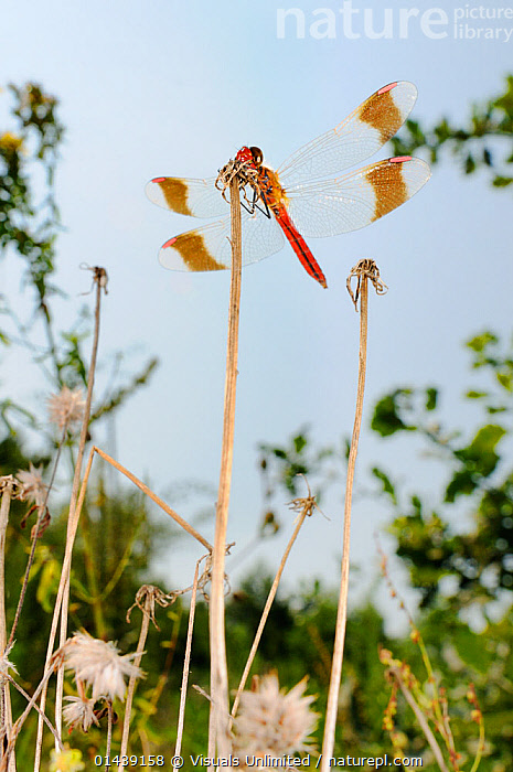 Banded Darter Dragonfly (Sympetrum pedemontanum) male resting on grass, Europe  ,  ARTHROPODS,DRAGONFLIES,EUROPE,GRASS,INSECTS,INVERTEBRATES,LOW ANGLE,MALES,ODONATA,RESTING,VERTICAL,Plants  ,  Visuals Unlimited