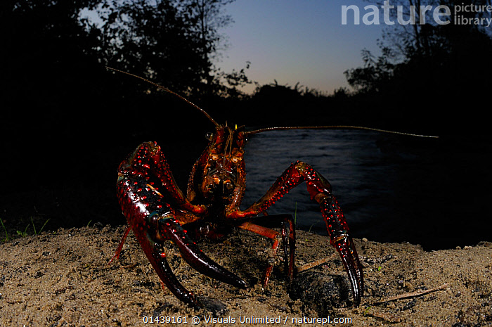 Louisiana Swamp Crayfish (Procambarus clarkii) emerging from water. They can travel long distances to seek suitable habitats, an invasive, introduced species to Europe.  ,  AQUATIC,ARTHROPODS,CAMBARIDAE,CRAWFISH,CRAYFISH,CRUSTACEANS,DUSK,EMERGING,EUROPE,FRESHWATER,INTRODUCED SPECIES,INVASIVE,INVERTEBRATES  ,  Visuals Unlimited
