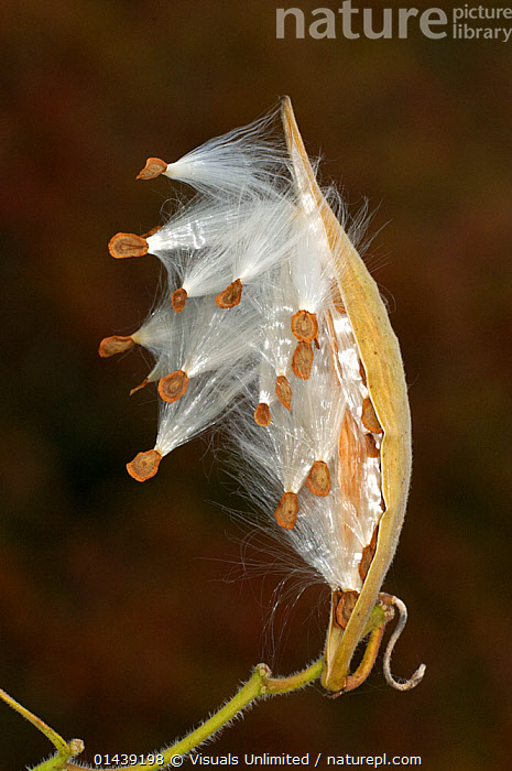 Milkweed / Butterfly Weed (Asclepias tuberosa) seed pod, Florida, USA  ,  ASCLEPIADACEAE,DICOTYLEDONS,NORTH AMERICA,PLANTS,PODS,PORTRAITS,SEEDS,USA,VERTICAL,WIND DISPERSAL  ,  Visuals Unlimited
