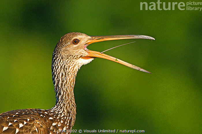 Limpkin (Aramus guarauna) calling, Florida, USA  ,  BIRDS,CALLING,COMMUNICATION,COPYSPACE,CUTOUT,FACES,HEADS,LIMPKINS,NORTH AMERICA,PORTRAITS,PROFILE,USA,VERTEBRATES,VOCALISATION  ,  Visuals Unlimited