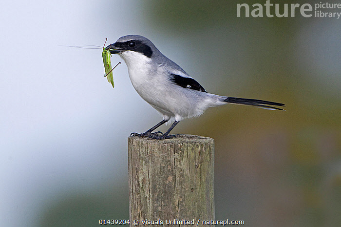 Loggerhead Shrike (Lanius ludovicianus) with insect prey, Florida, USA  ,  BIRDS,CUTOUT,FEEDING,INSECT,LANIIDAE,NORTH AMERICA,PORTRAITS,PREY,PROFILE,SHRIKES,SONGBIRDS,USA,VERTEBRATES  ,  Visuals Unlimited