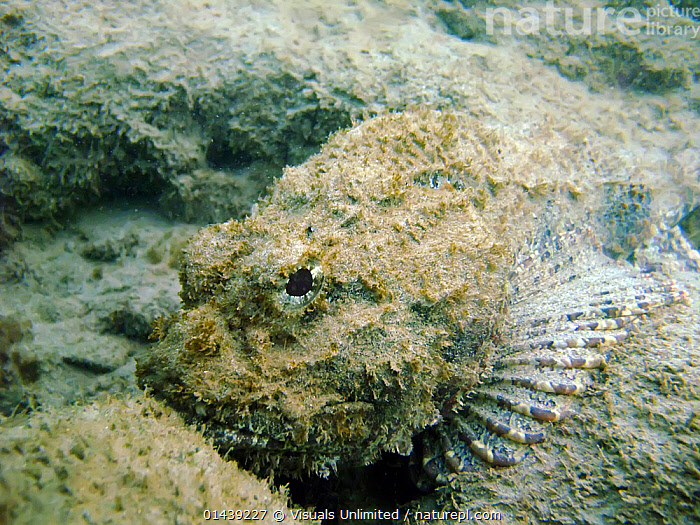 Scorpionfish (Scorpaenidae) camouflaged on sea bed, Caribbean.  ,  CAMOUFLAGE,CARIBBEAN,FISH,MARINE,OSTEICHTHYES,PORTRAITS,SCORPIONFISH,SEABED,TROPICAL,TROPICS,UNDERWATER,VERTEBRATES,West Indies  ,  Visuals Unlimited