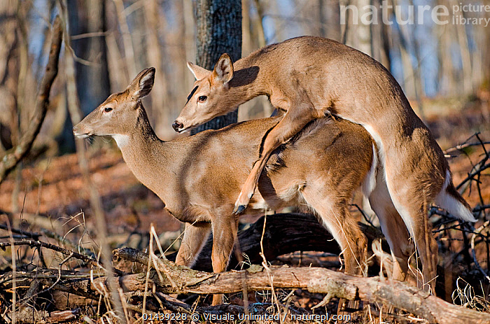 White tailed Deer (Odocoileus virginianus) two juveniles attempting to mate, Kentucky, USA.  ,  ARTIODACTYLA,CERVIDAE,COPULATION,DEER,IMMATURE,JUVENILE,MAMMALS,MATING BEHAVIOUR,NORTH AMERICA,PROFILE,REPRODUCTION,SEXUAL BEHAVIOUR,TWO,USA,VERTEBRATES,YOUNG  ,  Visuals Unlimited