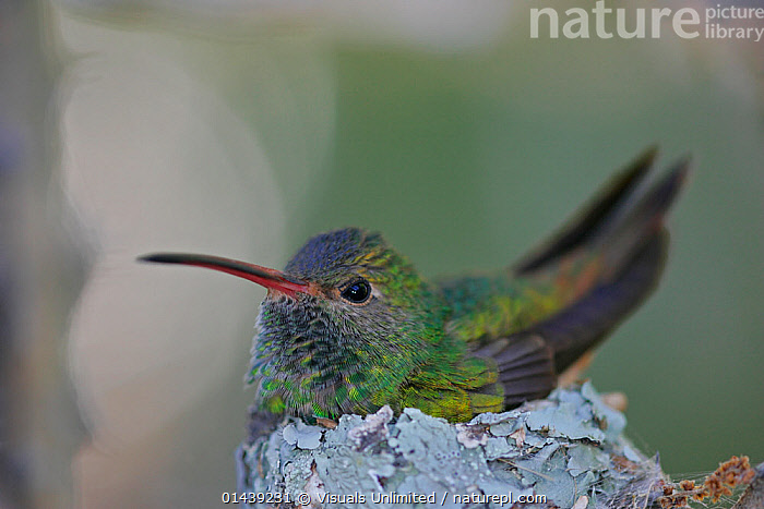 Buff bellied Hummingbird (Amazilia yucatanensis) on its lichen-covered nest, Texas, USA.  ,  BIRDS,CLOSE UPS,COPYSPACE,HUMMINGBIRDS,IRRIDESCENT,NESTING BEHAVIOUR,NESTS,NORTH AMERICA,PORTRAITS,USA,VERTEBRATES  ,  Visuals Unlimited