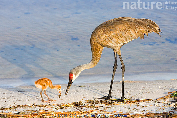 Sandhill Crane (Grus canadensis) chick with adult feeding on mole cricket, Indian Lake Estates, Florida, USA  ,  BABIES,BIRDS,CHICKS,CRANES,FEEDING,FEMALES,INSECTS,JUVENILE,LAKES,MOTHER,NORTH AMERICA,PARENTAL,PROFILE,USA,VERTEBRATES,WATER,YOUNG,Invertebrates  ,  Visuals Unlimited