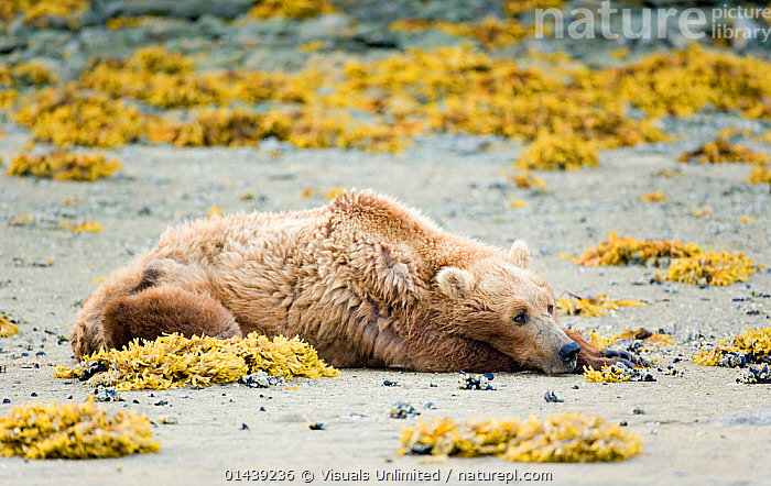Brown Bear (Ursus arctos,) old, sick, weak, and resting on a beach, Geographic Harbor, Katmai National Park, Alaska, USA.  ,  ALASKA,BEACHES,BEARS,CARNIVORES,DYING,HUNGRY,MAMMALS,NATIONAL PARK,NORTH AMERICA,NP,OLD,PROFILE,RESERVE,RESTING,SICK,STARVING,SUMMER,URSIDAE,USA,VERTEBRATES,Concepts  ,  Visuals Unlimited