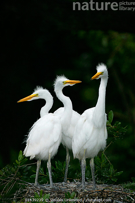 Great Egret (Ardea alba) chicks in nest, USA  ,  ARDEIDAE,BABIES,BIRDS,CHICKS,COPYSPACE,EGRETTA ALBA,GREAT WHITE HERON,GROUPS,HERONS,JUVENILE,NORTH AMERICA,THREE,USA,VERTEBRATES,VERTICAL,WHITE,YOUNG  ,  Visuals Unlimited