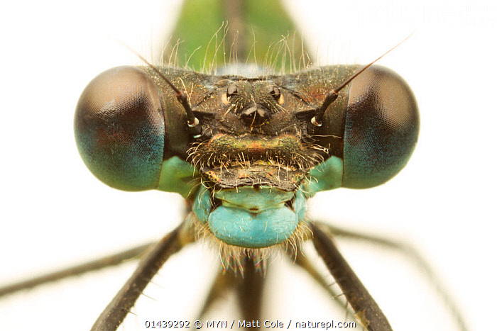 Close-up of the head of a female Emerald damselfly (Lestes sponsa), showing compound eyes, Leicestershire, England, UK, July. meetyourneighbours.net project  ,  ARTHROPODS,CLOSE UPS,CUTOUT,DAMSELFLIES,ENGLAND,EUROPE,EYES,FEMALES,HEADS,INSECTS,INVERTEBRATES,LOOKING AT CAMERA,MEET YOUR NEIGHHBOURS,MYN,ODONATA,PORTRAITS,UK,WHITE BACKGROUND,United Kingdom  ,  MYN / Matt Cole