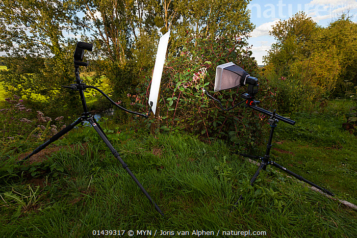 Outdoor studio for set up to take a photo of Common honeysuckle (Lonicera periclymenum), La Thierache, Picardie, France, August. Meetyourneighbours.net project  ,  CAMERAS,CAPRIFOLIACEAE,CLIMBERS,DICOTYLEDONS,EQUIPMENT,EUROPE,FLASH,FRANCE,MEET YOUR NEIGHBOURS,MYN,OUTDOORS,PHOTOGRAPHY,PLANTS,STUDIOS,TRIPODS  ,  MYN / Joris van Alphen