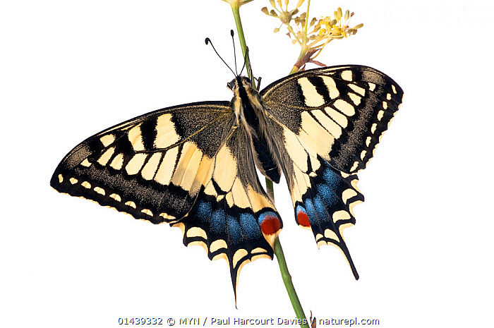 Common swallowtail (Papilio machaon) in garden, Orvieto, Italy, October.. Meetyourneighbours.net project  ,  BUTTERFLIES,CUTOUT,EUROPE,INSECTS,INVERTEBRATES,ITALY,LEPIDOPTERA,MACRO,MEET YOUR NEIGHBOURS,MYN,PAPILIONIDAE,SWALLOWTAIL BUTTERFLIES,WHITE BACKGROUND,WHITE BACKGROUND  ,  MYN / Paul Harcourt Davies