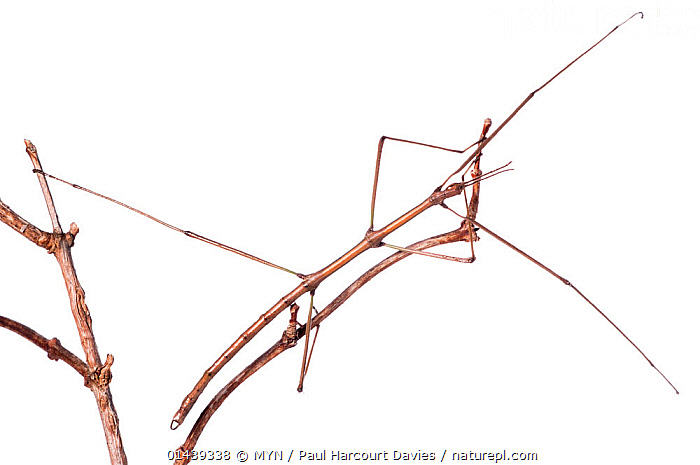 Spanish Stick Insect (Leptynia hispanica) on vine stem, Orvieto, Italy. Novmeber 
