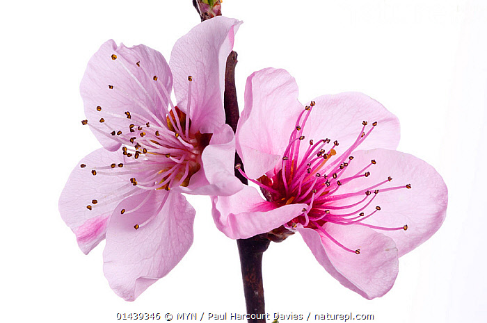 Peach blossom (Prunus persica) near Orvieto. Italy, March. Meetyourneighbours.net project  ,  CUTOUT,DICOTYLEDONS,EUROPE,FLOWERS,FRUIT TREES,ITALY,MEET YOUR NEIGHBOURS,MYN,PINK,PLANTS,ROSACEAE,WHITE BACKGROUND  ,  MYN / Paul Harcourt Davies