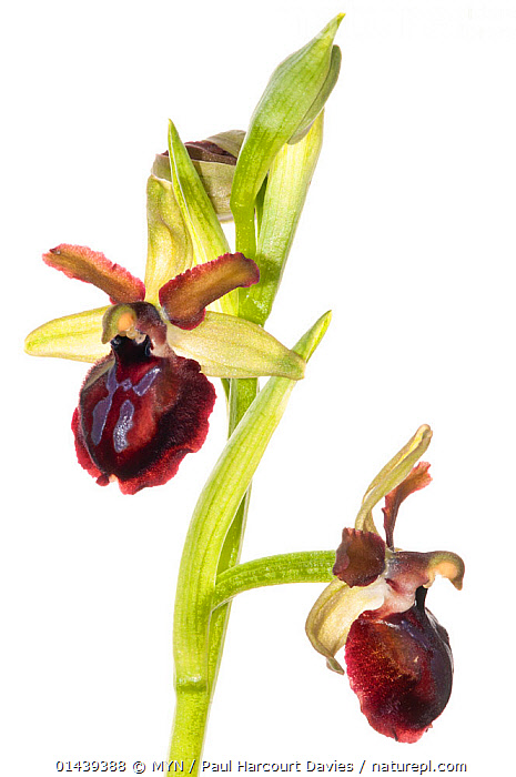 Orchid (Ophrys passionis / O sphegodes ssp garganica) near Monte St Angelo, Gargano, Italy, April. Meetyourneighbours.net project  ,  CUTOUT,EUROPE,ITALY,MEET YOUR NEIGHBOURS,MONOCOTYLEDONS,MYN,ORCHIDACEAE,ORCHIDS,PLANTS,WHITE BACKGROUND , vertical  ,  MYN / Paul Harcourt Davies