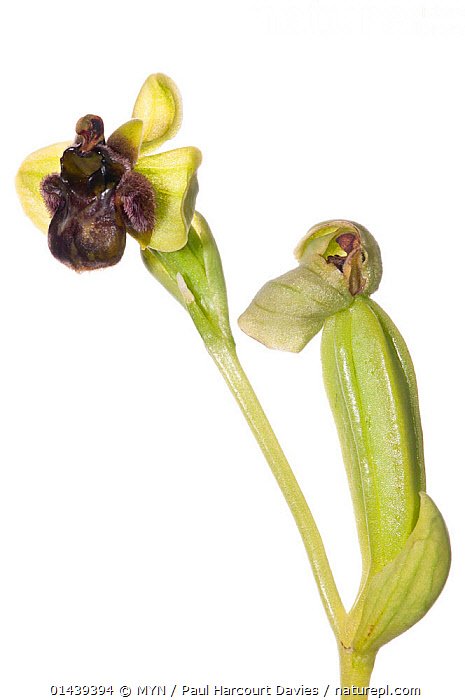 Bumble-bee orchid (Ophrys bombyliflora) in flower, Gargano, Italy. April. Meetyourneighbours.net project  ,  CUTOUT,EUROPE,FLOWERS,ITALY,MEET YOUR NEIGHBOURS,MONOCOTYLEDONS,MYN,ORCHIDACEAE,ORCHIDS,PLANTS,WHITE BACKGROUND , vertical  ,  MYN / Paul Harcourt Davies