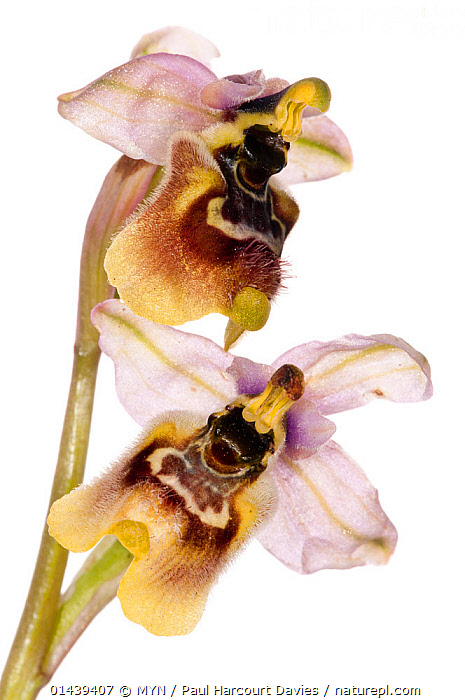 Sawfly Ophrys (Ophrys tenthredinifera) in flower. near Monte St Angelo, Gargano. Italy, April. Meetyourneighbours.net project  ,  CUTOUT,EUROPE,FLOWERS,ITALY,MEET YOUR NEIGHBOURS,MONOCOTYLEDONS,MYN,ORCHIDACEAE,ORCHIDS,PLANTS,PURPLE,WHITE BACKGROUND , vertical  ,  MYN / Paul Harcourt Davies