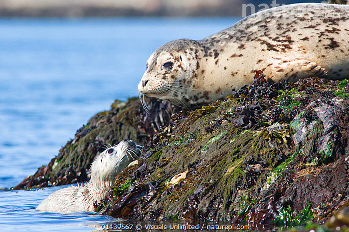 Common / Harbor Seals (Phoca vitulina) mother and pup perched on a rock in Victoria, British Columbia, Canada.  ,  BABIES,CANADA,CARNIVORES,COASTS,FEMALES,HARBOR SEAL,HARBOUR SEAL,JUVENILE,MAMMALS,MARINE,MOTHERS,NORTH AMERICA,PARENTAL,PHOCIDAE,PINNIPEDS,PUPS,ROCKS,SEA,SEALS,VERTEBRATES,YOUNG  ,  Visuals Unlimited