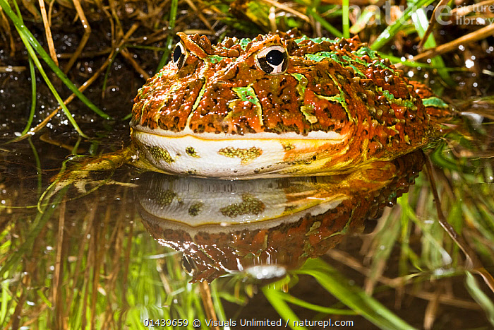 Argentine Horned Frog (Ceratophrys ornata) half submerged in water, South America  ,  AMPHIBIANS,ANURA,AQUATIC,FRESHWATER,FROGS,LEPTODACTYLID FROGS,PONDS,PORTRAITS,PROFILE,SOUTH AMERICA,VERTEBRATES,WATER,WETLANDS  ,  Visuals Unlimited