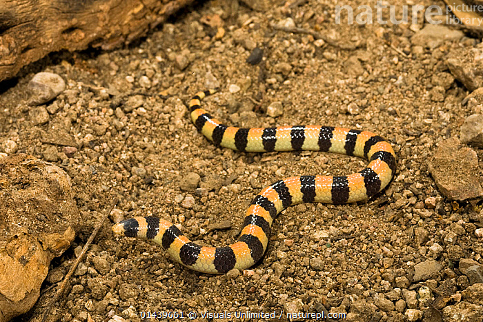 Banded Sand Snake (Chilomeniscus cinctus) crawling along ground in Sonoran Desert, Arizona, USA  ,  BANDED,COLUBRIDS,GROUND,NORTH AMERICA,REPTILES,SLIDING,SLITHERING,SNAKES,USA,VERTEBRATES  ,  Visuals Unlimited
