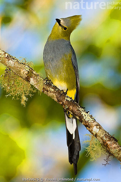 Long-tailed Silky-flycatcher (Ptilogonys caudatus), Central America  ,  BIRDS,CENTRAL AMERICA,COPYSPACE,PASSERIFORMES,PASSERINE,PORTRAITS,PROFILE,PTILOGONATIDAE,SILKY FLYCATCHERS,SONGBIRDS,TROPICS,VERTEBRATES,VERTICAL  ,  Visuals Unlimited