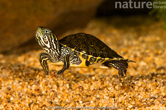Eastern River Cooter (Pseudemys concinna) swimming underwater, Eastern USA, captive  ,  AQUARIUM,AQUATIC,CAPTIVE,NORTH AMERICA,PETS,POND TURTLES,REPTILES,SWIMMING,UNDERWATER,USA,VERTEBRATES  ,  Visuals Unlimited