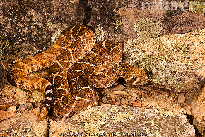 Western Diamonback Rattlesnake (Crotalus atrox) coiled on rocks, Western USA  ,  AGGRESSION,BEHAVIOUR,CAMOUFLAGE,COILED,DEFENSIVE,NORTH AMERICA,REPTILES,ROCKS,SNAKES,USA,VERTEBRATES,VIPERS  ,  Visuals Unlimited
