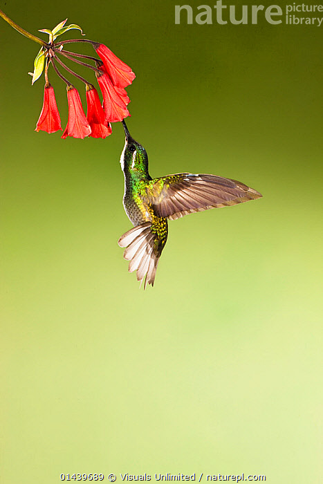 White throated Mountain gem Hummingbird(Lampornis castaneoventris) feeding from red tubular flower, Costa Rica  ,  BEHAVIOUR,BIRDS,CENTRAL AMERICA,COPYSPACE,CUTOUT,FEEDING,FLOWERS,HUMMINGBIRDS,IRRIDESCENT,MALES,PLANTS,PORTRAITS,PROFILE,TROPICAL,TROPICS,VERTEBRATES,VERTICAL  ,  Visuals Unlimited