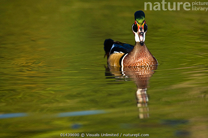 Wood Duck (Aix sponsa) male on water, Eastern USA  ,  BIRDS,COPYSPACE,DUCKS,LOOKING AT CAMERA,MALES,NORTH AMERICA,PORTRAITS,SWIMMING,USA,VERTEBRATES,WATER,WATERFOWL  ,  Visuals Unlimited