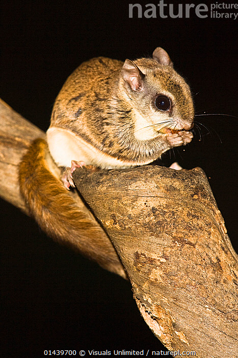 Northern Flying Squirrel (Glaucomys sabrinus) feeding on nuts, North America  ,  BLACK BACKGROUND,COPYSPACE,CUTOUT,FEEDING,FLYING SQUIRRELS,MAMMALS,NOCTURNAL,NORTH AMERICA,PORTRAITS,PROFILE,RODENTS,SCIURIDAE,VERTEBRATES,VERTICAL  ,  Visuals Unlimited