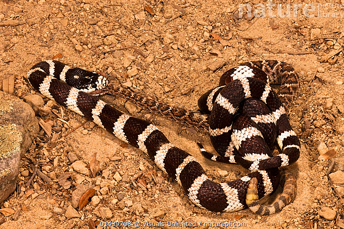 California Kingsnake (Lampropeltis getula californiae) eating a Rattlesnake (Crotalus) after constricting it to death, California, USA  ,  COLUBRIDS,CONSTRICTING,EATING,FEEDING,MIXED SPECIES,NORTH AMERICA,REPTILES,SNAKE,SNAKES,SWALLOWING,USA,VERTEBRATES  ,  Visuals Unlimited