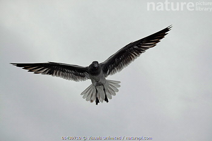 Lava Gull (Leucophaeus fuliginosus) in flight over Santa Cruz Island. With the population estimated at less than 800, this is one of the rarest gulls in the world. Galapagos Archipelago, Ecuador.  ,  BIRDS,COPYSPACE,CUTOUT,ENDANGERED,FLIGHT,FLYING,GALAPAGOS,GULLS,LARIDAE,OVERHEAD,PORTRAITS,SEABIRDS,SOUTH AMERICA,UNDERSIDE,VERTEBRATES  ,  Visuals Unlimited