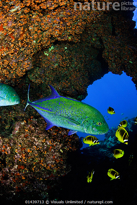 Bluefin Trevally (Caranx melampygus) and schooling Raccoon Butterflyfish (Chaetodon lunula) off Lanai, Hawaii, USA.  ,  CAVES,FISH,JACKS,MARINE,MIXED SPECIES,NORTH AMERICA,OSTEICHTHYES,PACIFIC OCEAN,TROPICAL,TROPICS,UNDERWATER,VERTEBRATES,VERTICAL  ,  Visuals Unlimited