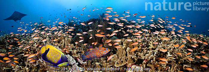 Schooling Anthias (Anthias) a Manta Ray, Grouper and an Angelfish dominate this Philippine reef scene, Indo-Pacific  ,  ANTHIAS,CORAL REEFS,DIVERSITY,ECOSYSTEM,FISH,GROUPS,HABITAT,HEALTHY,INDO PACIFIC,MARINE,MIXED SPECIES,OSTEICHTHYES,PANORAMIC,RAYS,SHOALING,SOUTH EAST ASIA,TROPICAL,TROPICS,UNDERWATER,VERTEBRATES  ,  Visuals Unlimited