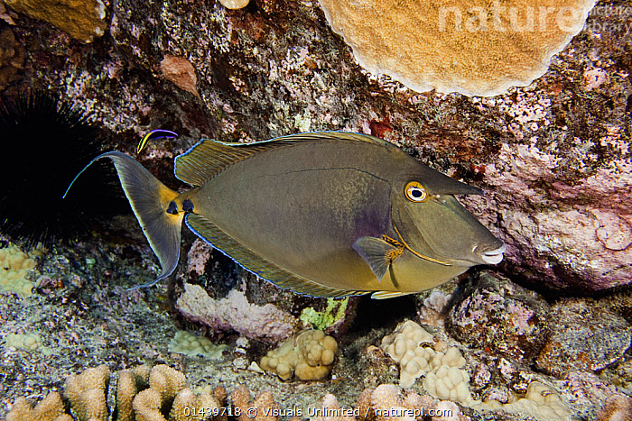 Bluespine Unicornfish (Naso unicornis) with a Cleaner Wrasse near its tail, Hawaii, USA.  ,  ACANTHURIDAE,BEHAVIOUR,CLEANING,CLEANING STATION,FISH,GROOMING,MARINE,MIXED SPECIES,NORTH AMERICA,OSTEICHTHYES,PACIFIC OCEAN,PORTRAITS,PROFILE,SURGEONFISH,SYMBIOSIS,TROPICAL,TROPICS,UNDERWATER,USA,VERTEBRATES,Concepts,Partnership  ,  Visuals Unlimited