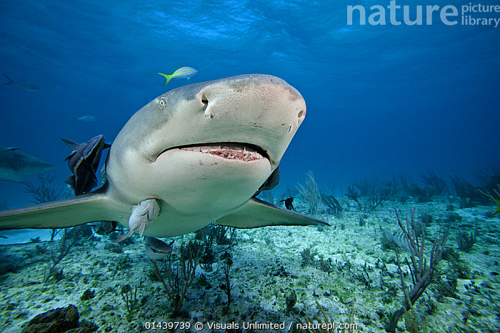 Lemon Shark (Negaprion brevirostris) with Remoras, Bahamas, Atlantic Ocean.  ,  ATLANTIC OCEAN,CARCHARHINIDAE,CHONDRICHTHYES,FISH,MARINE,PARASITIC,PORTRAITS,REMORAS,SHARKS,TROPICAL,TROPICS,UNDERWATER,VERTEBRATES  ,  Visuals Unlimited