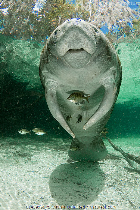 West Indian Manatee (Trichechus manatus), Crystal River, Florida, USA.  ,  AQUATIC,ENDANGERED,FLORIDA,FRESHWATER,MAMMALS,MANATEES,NORTH AMERICA,PORTRAITS,RIVERS,TRICHECHIDAE,UNDERSIDE,UNDERWATER,USA,VERTEBRATES,VERTICAL,VULNERABLE  ,  Visuals Unlimited
