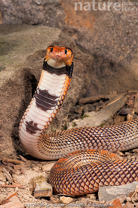 Coral Cobra (Aspidelaps lubricus cowlesi) with head raised, Namibia. Captive  ,  AFRICA,ALERT,COBRAS,LOOKING AT CAMERA,PORTRAITS,REPTILES,SNAKES,SOUTHERN AFRICA,VERTEBRATES,VERTICAL  ,  Visuals Unlimited