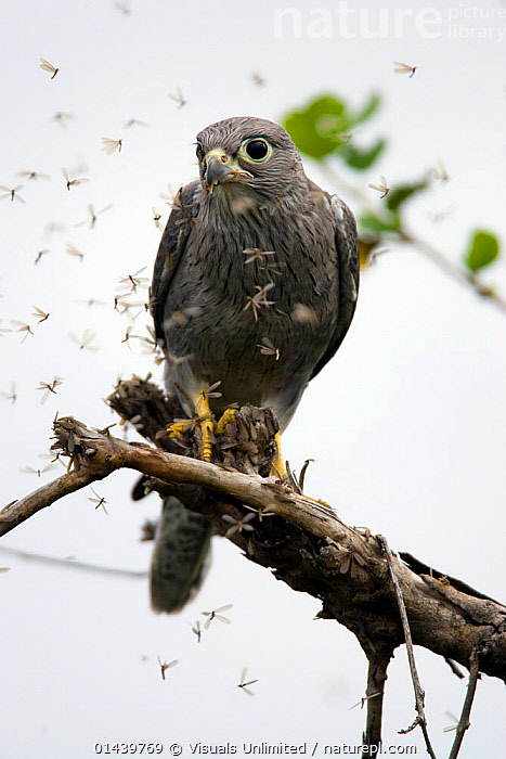 Grey Kestrel (Falco ardosiaceus) perched and eating on termites as they fly about, Masai Mara National Reserve, Kenya  ,  AFRICA,BEHAVIOUR,BIRDS,BIRDS OF PREY,EAST AFRICA,FALCONS,FLYING,HUNTING,INSECTS,PREY,RESERVE,TERMITES,VERTEBRATES,VERTICAL,Invertebrates  ,  Visuals Unlimited