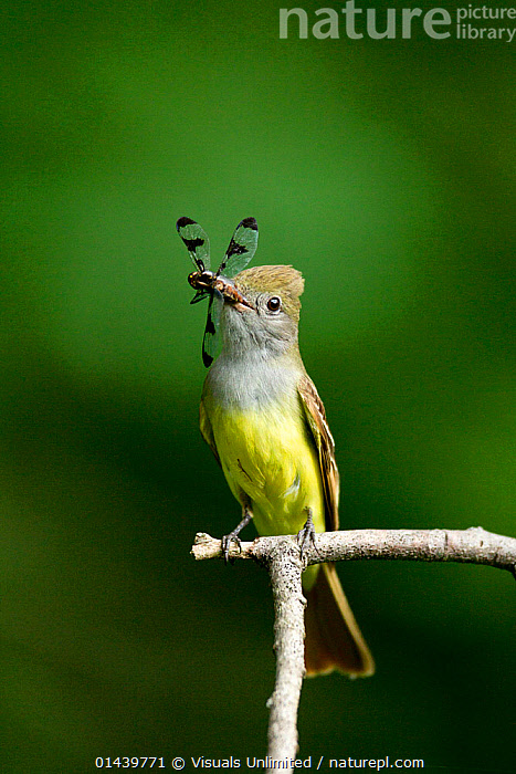 Great Crested Flycatcher (Myiarchus crinitus) with dragonfly prey in its beak, Pennsylvania, USA.  ,  BIRDS,COPYSPACE,CUTOUT,DRAGONFLIES,FEEDING,FLYCATCHERS,INSECTS,NORTH AMERICA,PORTRAITS,PROFILE,SONGBIRDS,TYRANNIDAE,USA,VERTEBRATES,VERTICAL,Invertebrates  ,  Visuals Unlimited