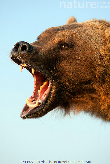 Grizzly Bear (Ursus arctos horribilis) roaring head profile, Montana, USA. Captive., AGGRESSION,ANGRY,BEARS,BROWN BEAR,CALLING,CAPTIVE,CARNIVORES,COMMUNICATION,COPYSPACE,CUTOUT,FACES,HEADS,MAMMALS,NORTH AMERICA,PORTRAITS,PROFILE,ROARING,URSIDAE,USA,VERTEBRATES,VERTICAL,VOCALISATION, Visuals Unlimited