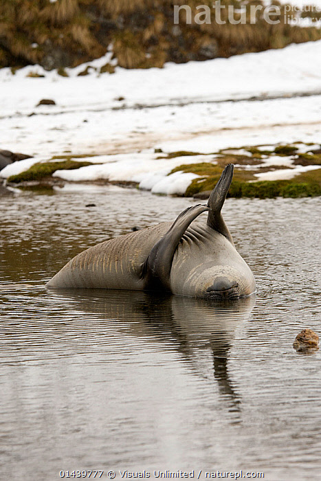 Southern Elephant Seal (Mirounga leonina) resting in water after moulting, South Georgia  ,  ATLANTIC ISLANDS,CARNIVORES,COASTS,MAMMALS,MARINE,PHOCIDAE,PINNIPEDS,PLAYFUL,RESTING,SEA,SEALS,SOUTH GEORGIA ,VERTEBRATES,VERTICAL,WATER  ,  Visuals Unlimited