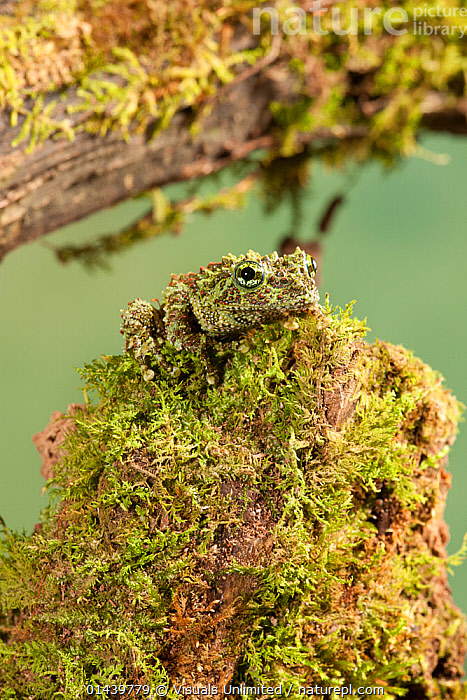 Vietnamese Mossy Frog (Theloderma corticale) camouflaged on moss, found in Vietnam. Captive  ,  AMPHIBIANS,ASIA,CAMOUFLAGE,CAPTIVE,MOSS,PORTRAITS,SOUTH EAST ASIA,TREE FROGS,VERTEBRATES,VERTICAL,Anura,Frogs  ,  Visuals Unlimited