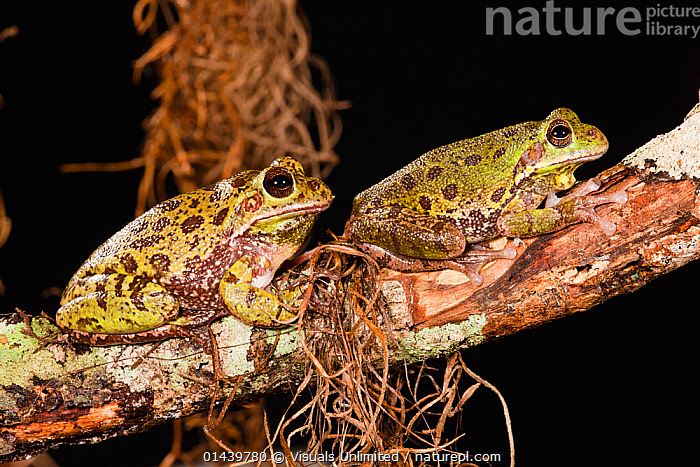 Barking Tree frogs (Hyla gratiosa) two resting on branch, Florida, USA  ,  AMPHIBIANS,ANURA,BLACK BACKGROUND,FROGS,NORTH AMERICA,PORTRAITS,PROFILE,RESTING,TREE FROGS,TWO,USA,VERTEBRATES  ,  Visuals Unlimited