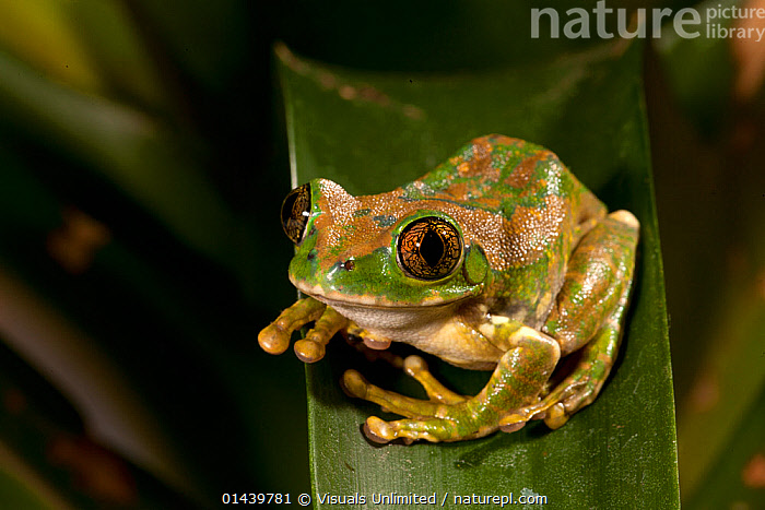 Big Eyed Treefrog (Leptopelis vermiculatus) found in East Africa. Captive  ,  AFRICA,AMPHIBIANS,ANURA,CAPTIVE,CUTOUT,EAST AFRICA,FROGS,PORTRAITS,REED FROGS,VERTEBRATES  ,  Visuals Unlimited