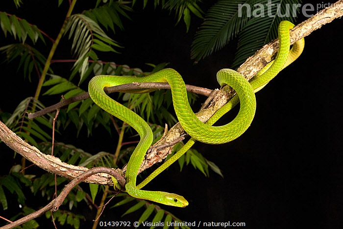 Eastern Green Mamba (Dendroaspis angusticeps), captive  ,  AFRICA,CAPTIVE,DEADLY,MAMBAS,POISONOUS,PORTRAITS,REPTILES,SNAKES,VERTEBRATES  ,  Visuals Unlimited