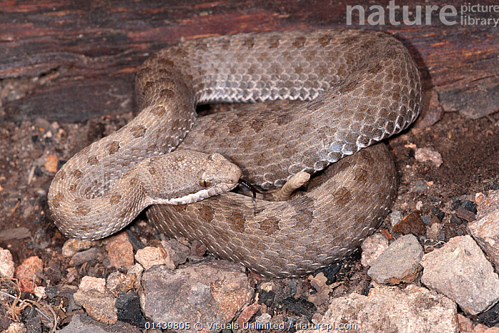 Twin spotted Rattlesnake (Crotalus pricei), Arizona, USA  ,  CAMOUFLAGE,COILED,NORTH AMERICA,REPTILES,SNAKES,USA,VERTEBRATES,VIPERS  ,  Visuals Unlimited