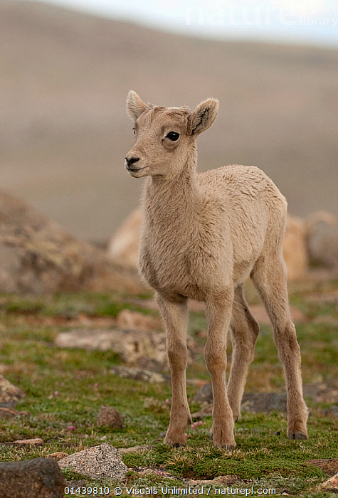 Bighorn Sheep (Ovis canadensis) lamb standing portrait, Mount Evans, Colorado, USA.  ,  ARTIODACTYLA,BOVIDAE,HIGHLANDS,IMMATURE,JUVENILE,LAMB,MAMMALS,MOUNTAINS,NORTH AMERICA,PORTRAITS,SHEEP,STANDING,USA,VERTEBRATES,VERTICAL,YOUNG,Goats,Antelopes  ,  Visuals Unlimited